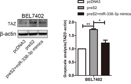 preS2 promoted TAZ expression via miR-338-3p.