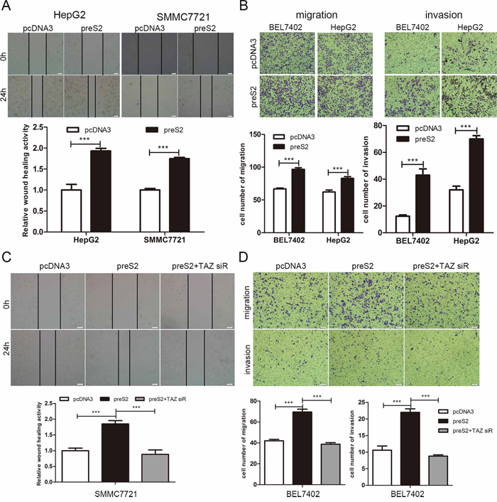 preS2 promotes the migration of HCC by TAZ.