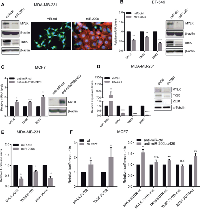 miR-200c overexpression leads to downregulation of MYLK and TKS5.