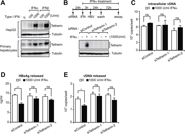 Type I IFN-induced tetherin weakly represses HBV release.