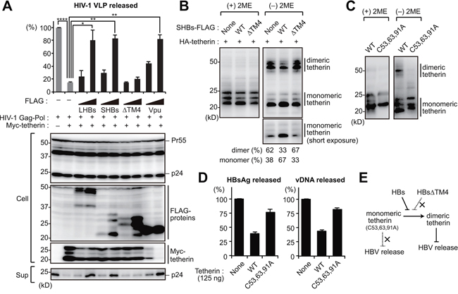 HBs inhibits the dimerization of tetherin to counteract its antiviral activity.