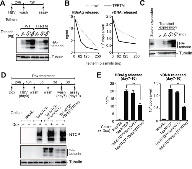 HBs-resistant chimeric tetherin efficiently restricts HBV release.