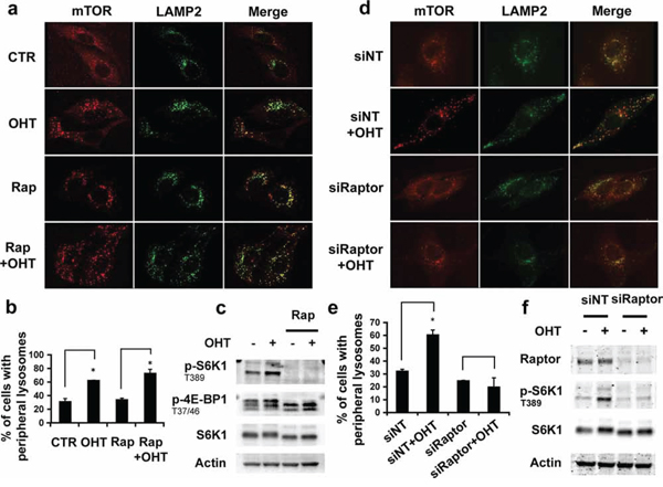Effect of mTORC1 activity in lysosomal trafficking.