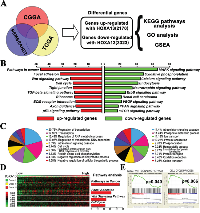 The HOXA13-associated genes were chiefly enriched in cancer related pathway.