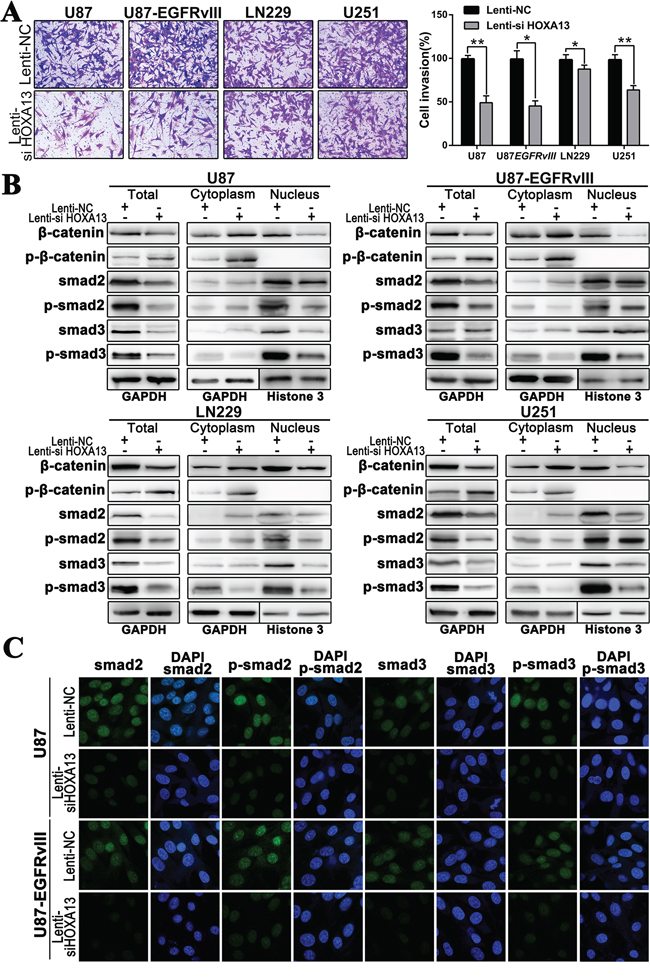 The suppression of HOXA13 inhibits invasion via the Wnt and TFG-β pathways in GBM cells.