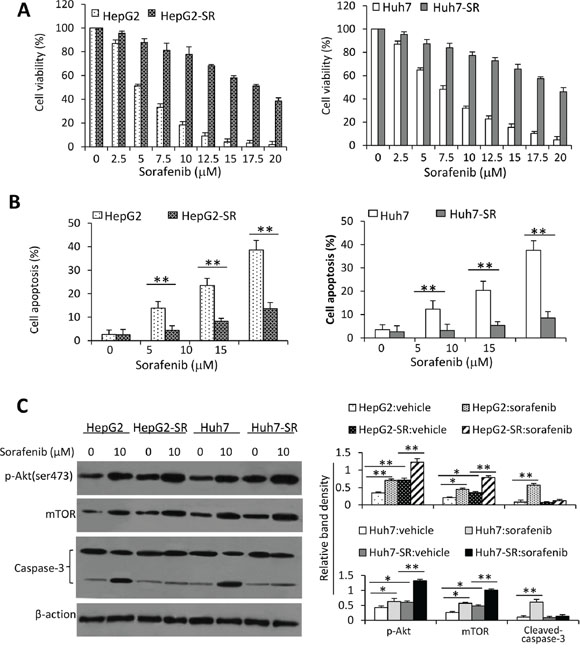 Sorafenib-resistant HCC cells are insensitive to sorafenib.