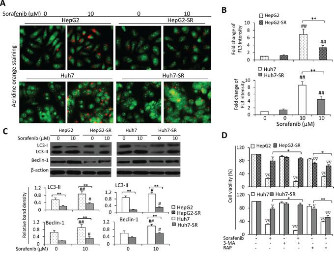 Sorafenib-resistant cells are resistant to sorafenib-induced autophagy.