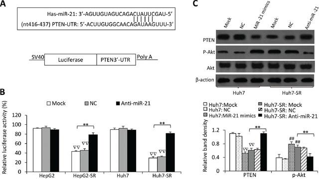 MiR-21 regulates PTEN expression and Akt activation in sorafenib-resistant cells.