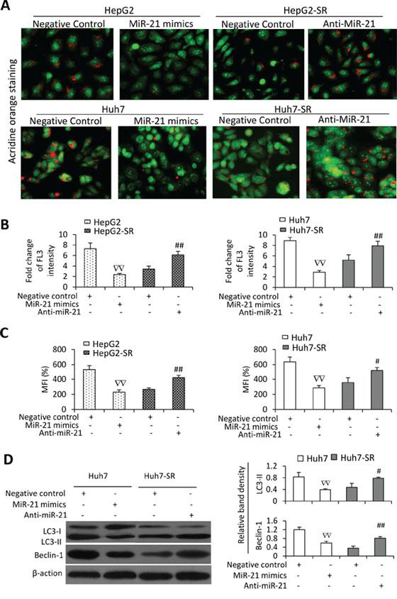 MiR-21 inhibits sorafenib-induced autophagy in HCC cells.