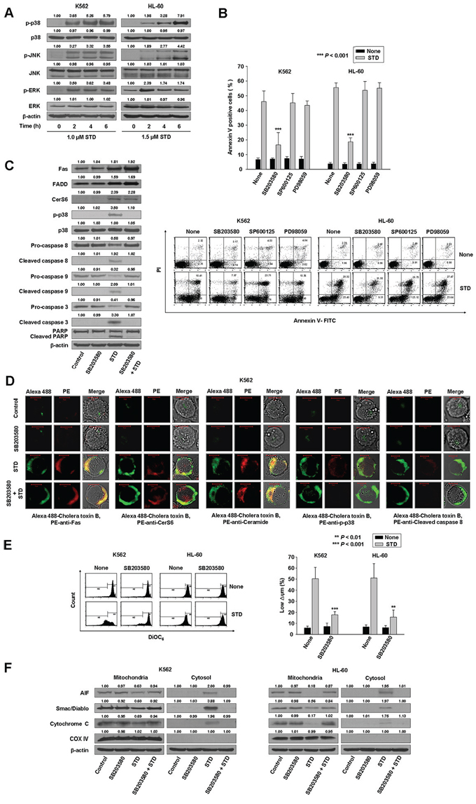 STD induces apoptosis of K562 and HL-60 cells through the activation of p38 kinase.