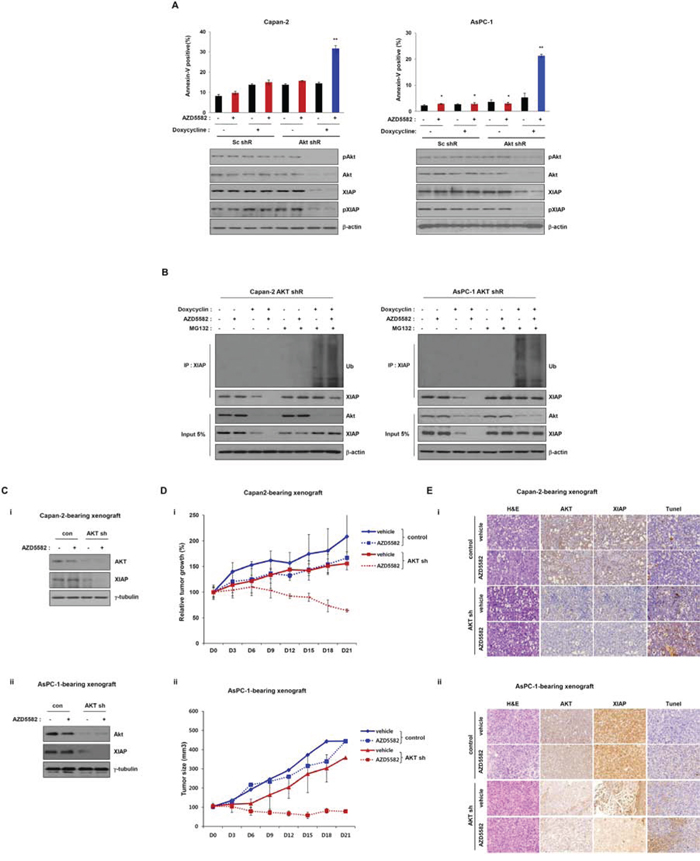 Tumor growth in the Capan-2 and AsPC-1 inducible AKT-shRNA-bearing xenograft model is inhibited by AZD5582.