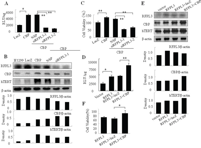The co-regulation of hTERT promoter activity, hTERT expression, and cell proliferation in H1299 cells with overexpression of CBP and low expression of RFPL3 or simultaneous overexpression of CBP and RFPL3.