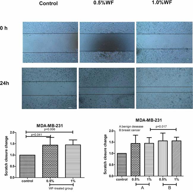 Scratch wounds assays: WF promotes MDA-MB-231cells migration.