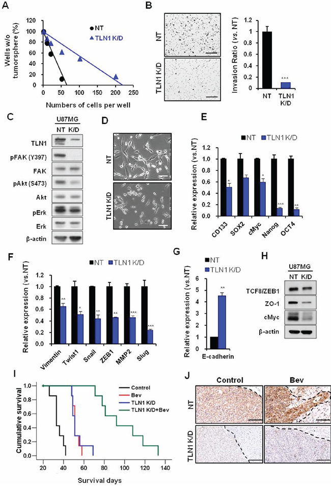 Effects of TLN1 inhibition on malignant progression and survival gains by bevacizumab in U87MG.
