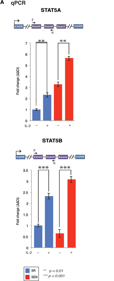 Stimulation of the self-renewing and senescent hADSCs with IL-2 upregulates mRNA of a mediator of IL-2 signaling STAT5 gene.