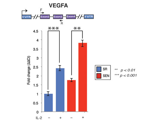 Interleukin-2 upregulates transcription of the VEGFA gene upon replicative senescence of hADSCs.