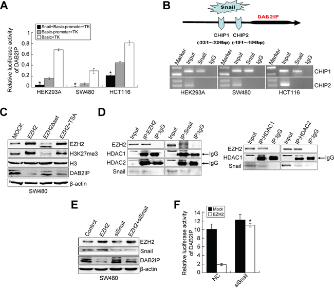 Snail negatively regulates DAB2IP expression.