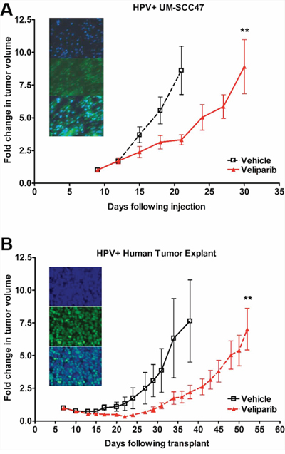 HPV+ HNSCCs are sensitive to PARP inhibition in vivo.