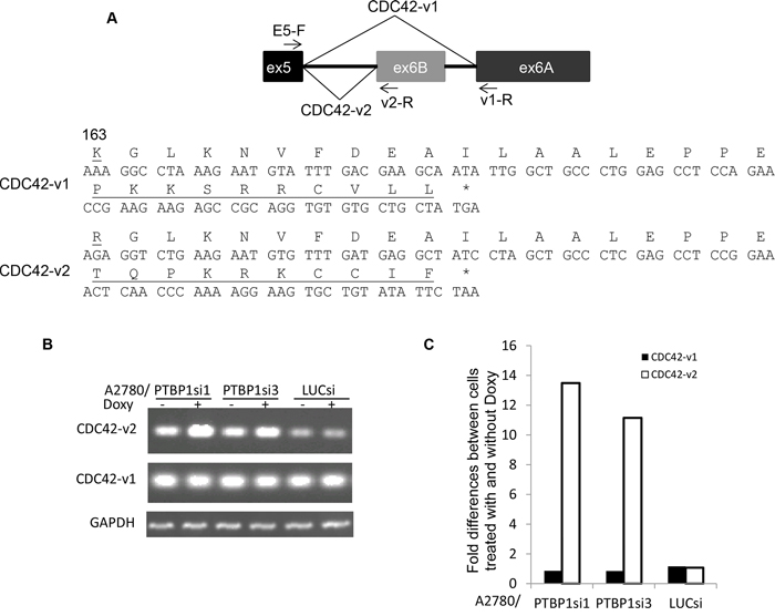Knockdown of PTBP1 alters alternative splicing of CDC42.
