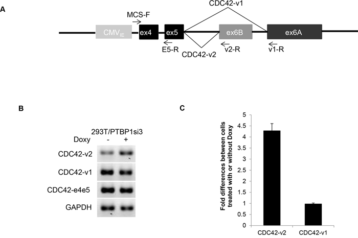 Regulation of CDC42 alternative splicing in minigene by PTBP1.