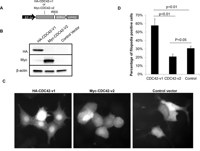 Ectopically expressed CDC42-v2 suppresses filopodia formation.