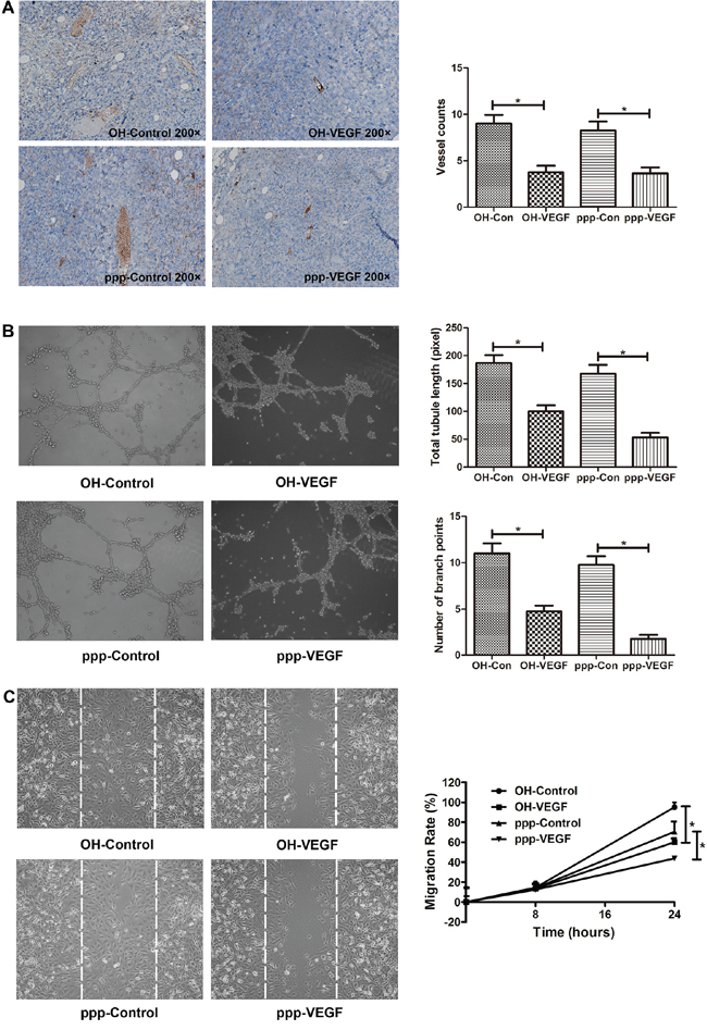 ppp-VEGF inhibits tumor angiogenesis in vivo, inhibits tubule-like structure formation, and decreases migration of endothelial cells in vitro.