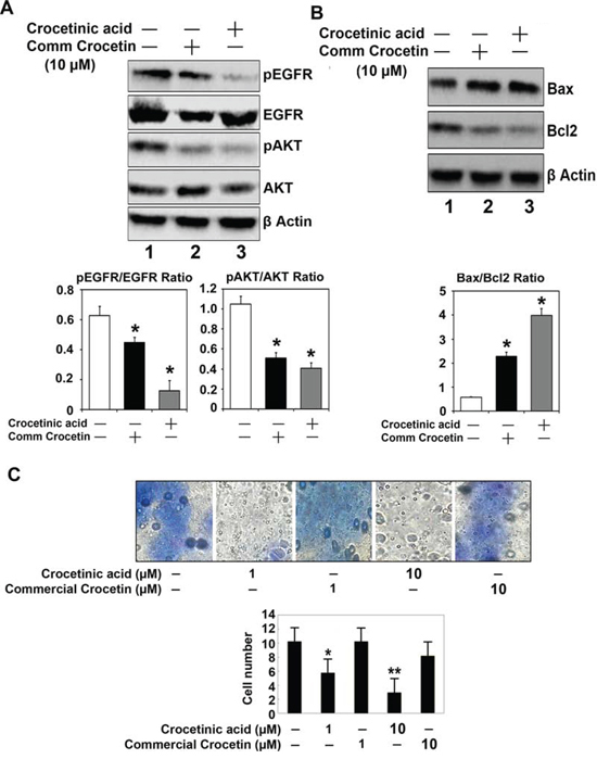 Crocetinic acid inhibits activation of EGF receptor and inhibits cell migration.