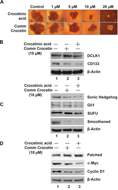 Crocetinic acid inhibits pancosphere formation and Hedgehog signaling pathway.