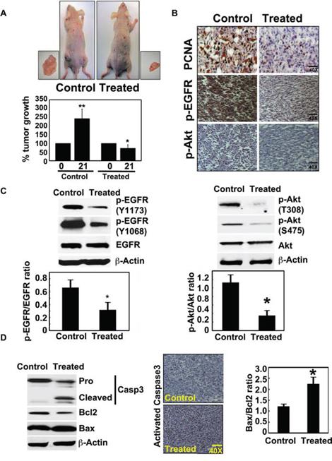 Crocetinic acid inhibits pancreatic cancer xenografts.