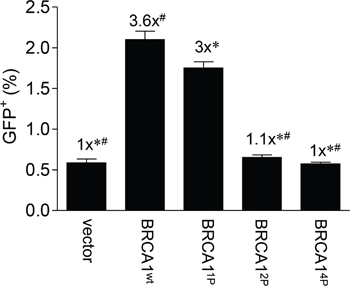 Progressive mutagenesis of the BRCA1 SQ-cluster results in reduced HRR.