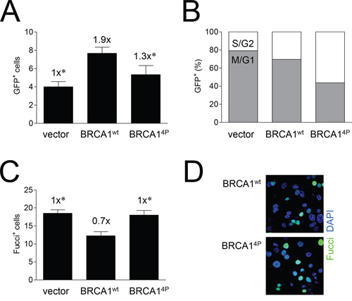 Mutations of BRCA1 phosphorylation sites increase the time cells undergoing HRR remain in the later stages of the cell cycle.