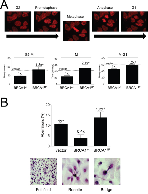 Mutations of BRCA1 phosphorylation sites prolong mitosis and induce mitotic aberrations.