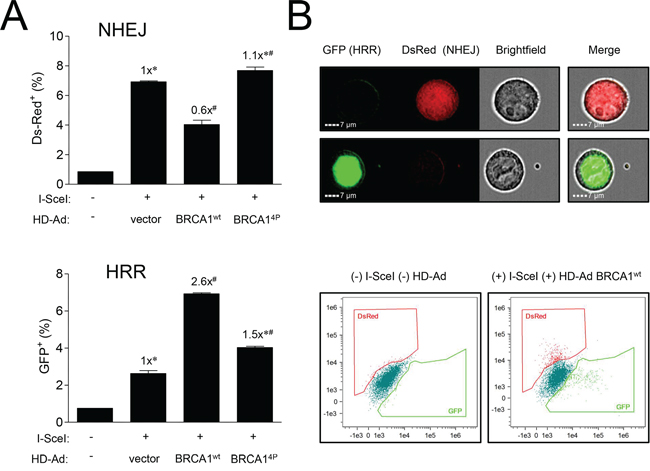 Mutations of BRCA1 phosphorylation sites inversely affect different pathways of DSB repair.