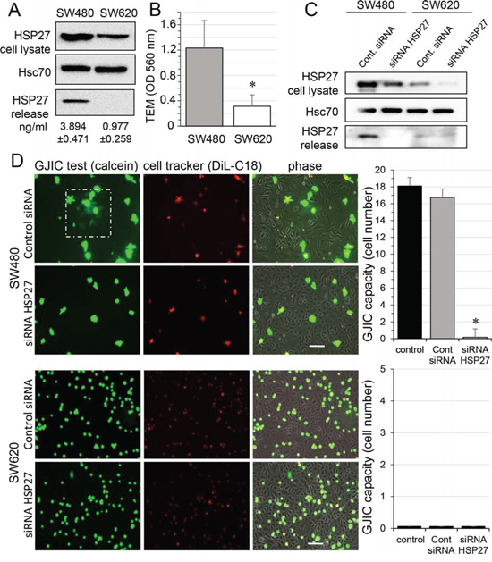 HSP27 knockdown inhibits the gap junctional coupling between SW480 cells and HMEC.