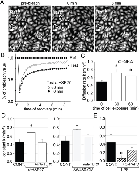 Extracellular HSP27 increases the endothelial gap-junction coupling.