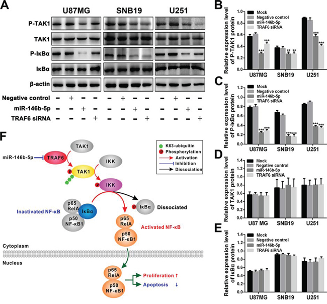 miR-146b-5p and TRAF6 siRNA suppress the activation of TRAF6-TAK1 pathway.