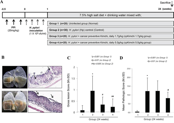 Ameliorating effects of cpKimchi in H. pylori-infected chronic atrophic gastritis (24 weeks after H. pylori infection).