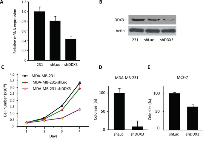Characterization of MDA-MB-231 DDX3 knockdown cells.