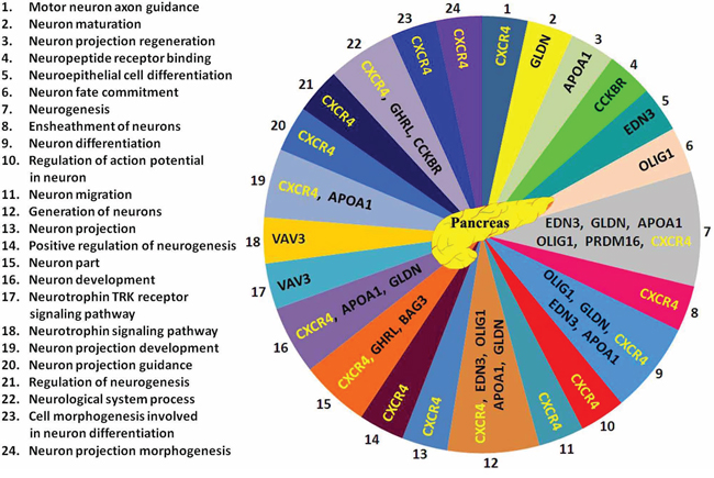 24 neuronal functions related to the 10 genes found in pancreas based on Gene Ontology database search.