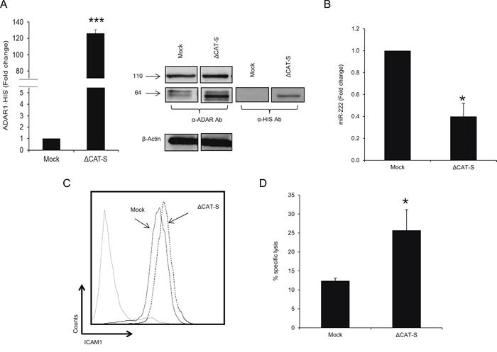 ADAR1 mediated-regulation is editing independent.