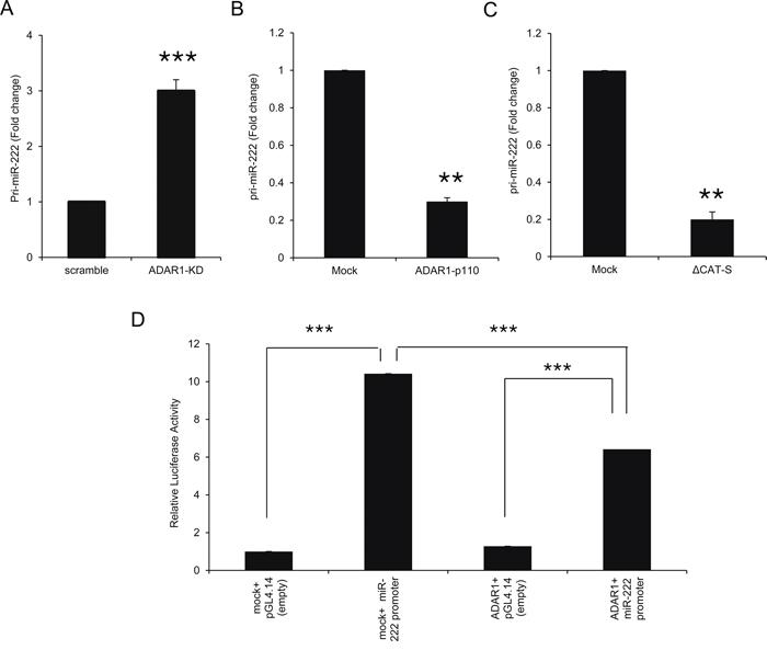 ADAR1 transcriptionally regulates miR-222 processing at the pri-miR level.