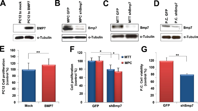 Bmp7 promotes proliferation of PCC cells in vitro.