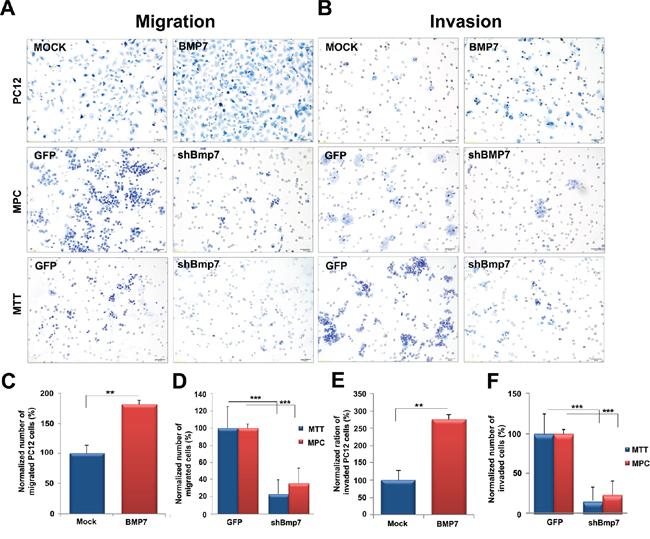 Bmp7 enhances migration and invasion of PCC cells in vitro.