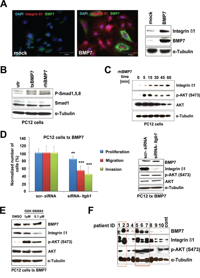 Downstream BMP7 signaling in PCC cells.