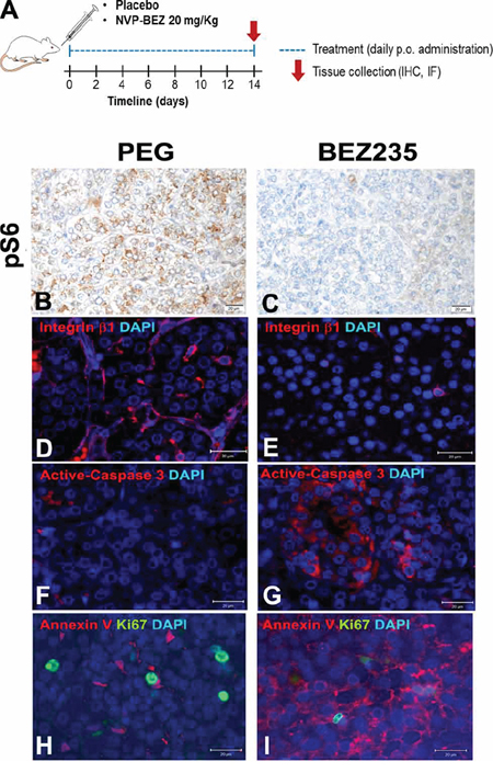 Ex vivo analysis of rat PCCs following placebo or NVP-BEZ235 treatment.