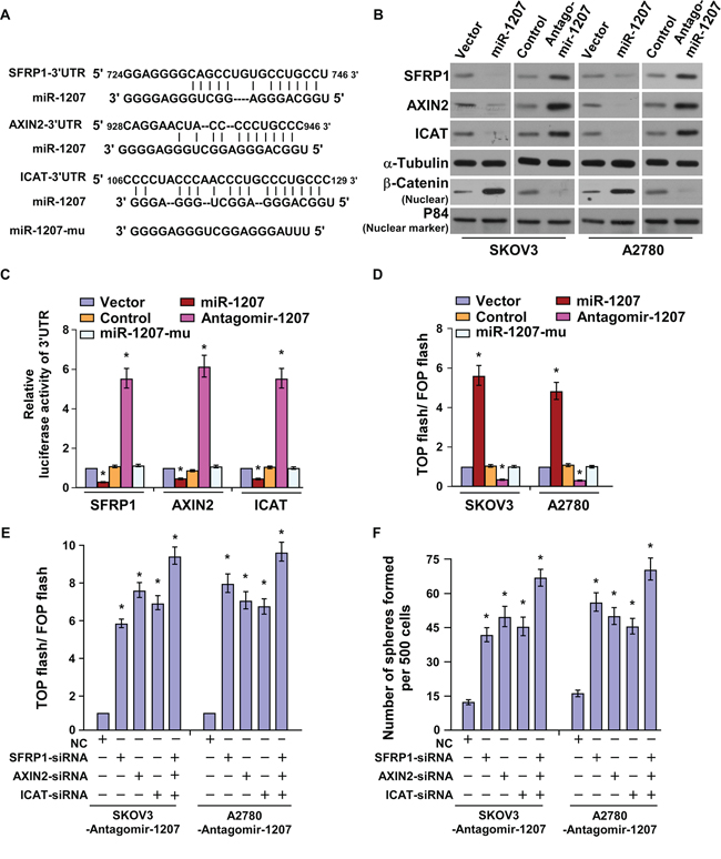 MiR-1207 directly targets SFRP1, Axin2, and ICAT.