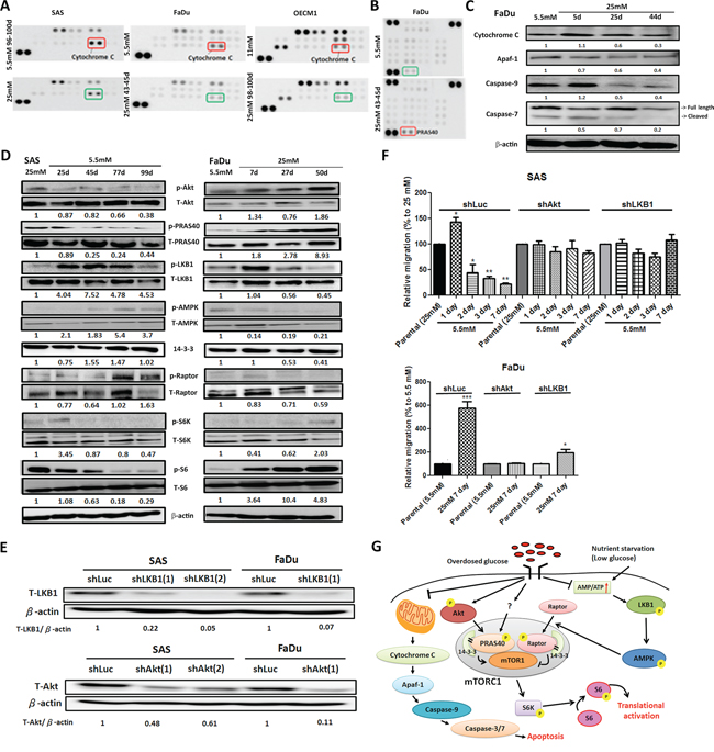 Molecular regulation of hyperglycemia-mediated carcinogenic promotion in head and neck cancer cells.