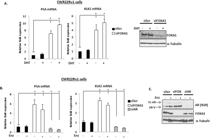 FOXA1 depletion up-regulates PSA and KLK2 expression in CWR22Rv1 cells.