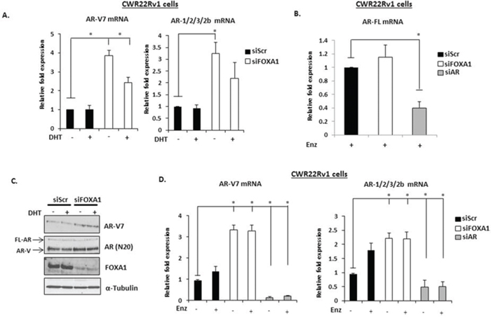 FOXA1 knockdown elevates AR-V expression in CWR22Rv1 cells.