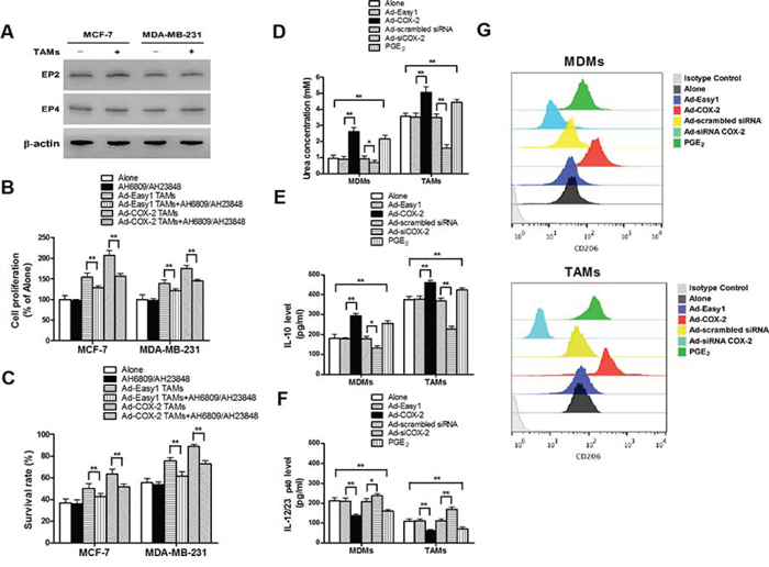 COX-2 is essential for macrophages polarized to M2 phenotype.